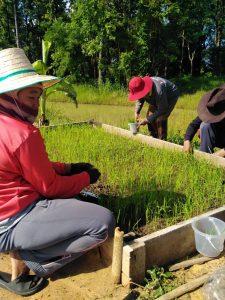 เกษตรกรร่วมทำแปลงทดลองการปลูกข้าวแบบ SRI (System of Rice Intensification) จังหวัดยโสธร