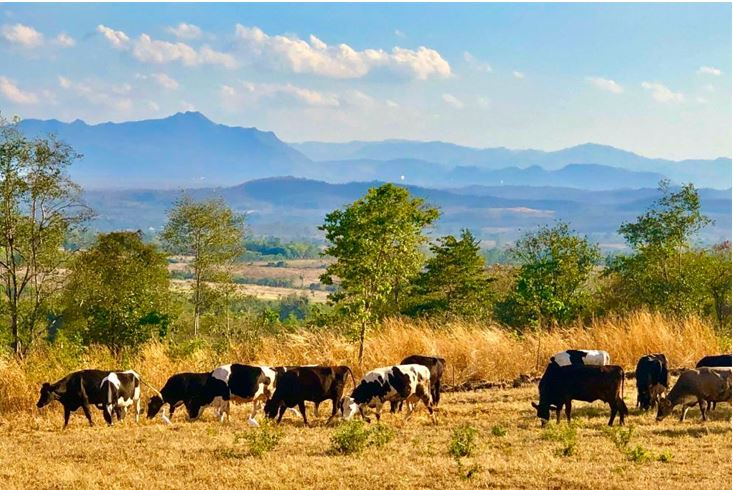 ปล่อยให้วัวได้ใช้ชีวิตแบบวัว ๆ มีโอกาสได้แทะเล็มหญ้า ได้เอาหลังถูต้นไม้บ้าง เดินตีแปลงบ้าง ได้ตากแดด ออกกำลัง ซึ่งสิ่งเหล่านี้จะถูกละเลยไปในระบบการผลิตแบบอุตสาหกรรม